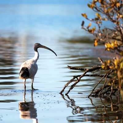 Birds in Leschenault Estuary