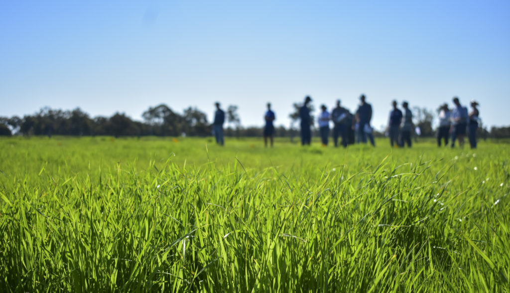 Close up of rye grass in a paddock