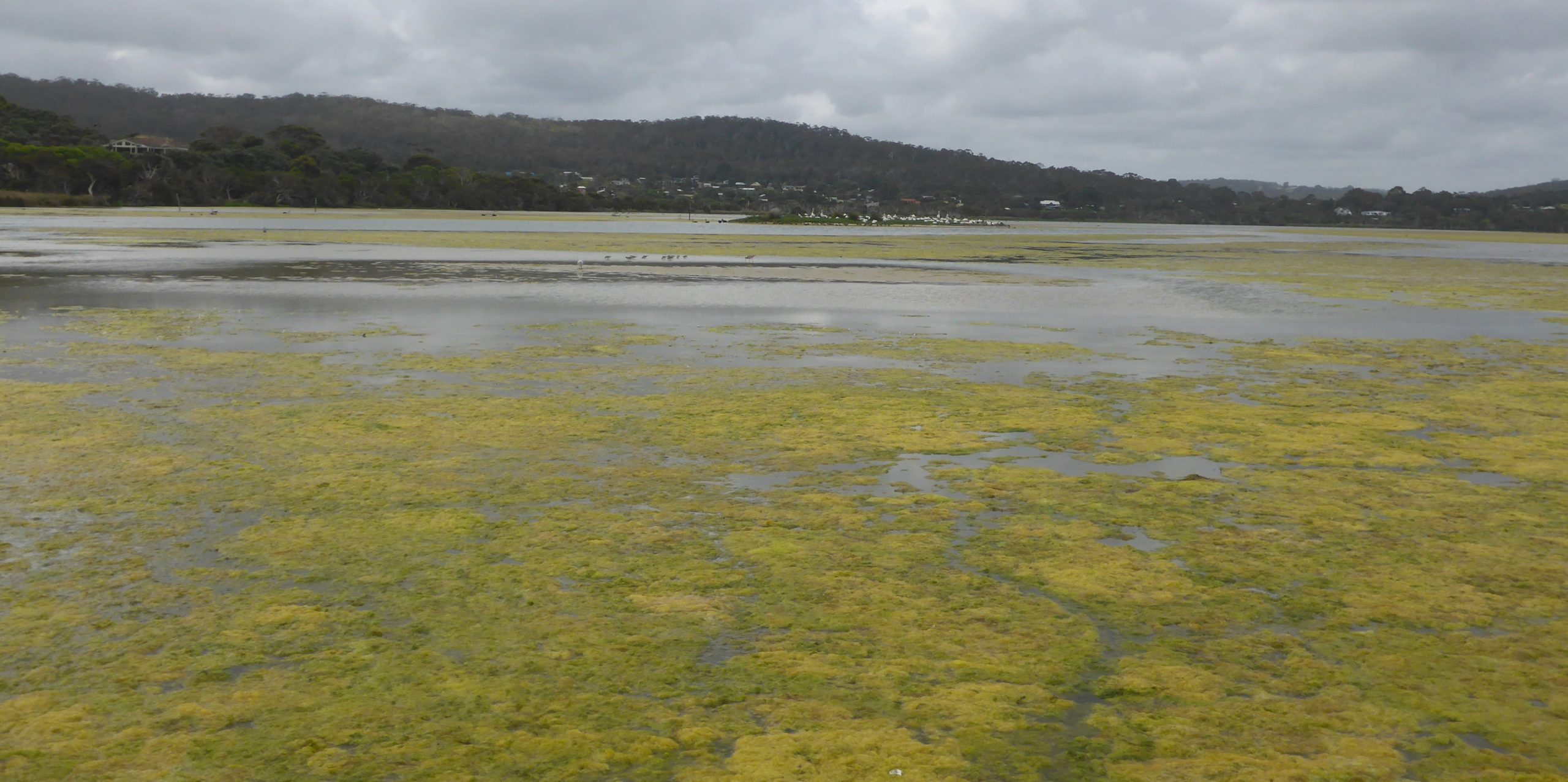 a macroalgae bloom in the Wilson Inlet seen from above the water